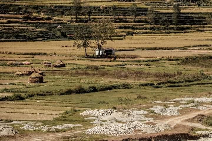 स्याङ्जाका किसान धान काट्न व्यस्त, धानमा कालोपोको भएको भन्दै चिन्ता